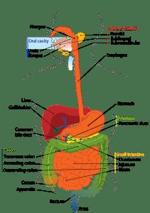 Digestive-System